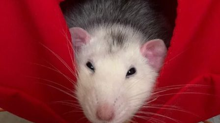 Rat2_thumb_main